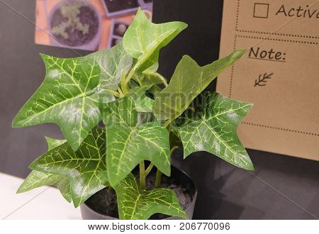 Artificial Golden Pothos Hunter's Robe or Ivy Arum Plants in A Pot for Home and Office Decoration without The Care.