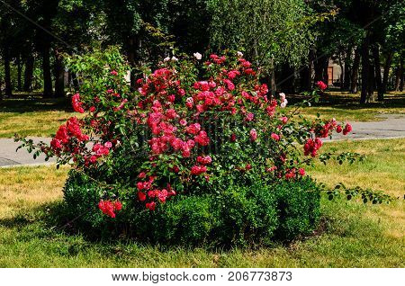 Rose Bush On Flowerbed In The Park