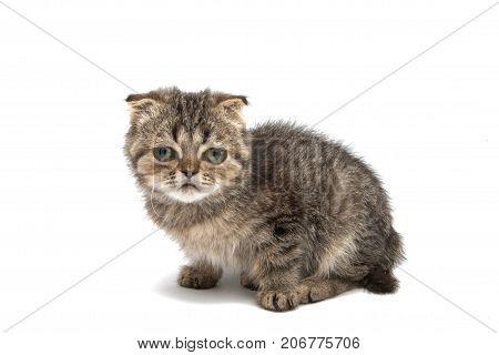 Gray kitten animal on a white background
