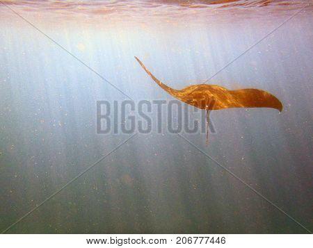 Manta Ray At Manta Point Divesite
