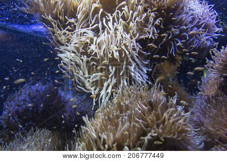 Ocellaris Clownfishes Swimming In The Magnificent Sea Anemone