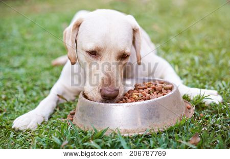 Labrador eating from metal bowl on green grass blur background.  Close up of hungry labrador dog