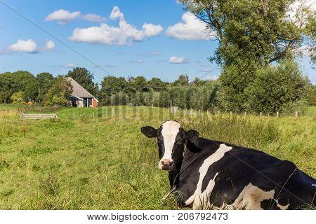 Dutch Black And White Holstein Cow In Groningen