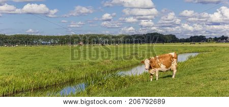 Panorama Of A Dutch Red And White Cow In Groningen