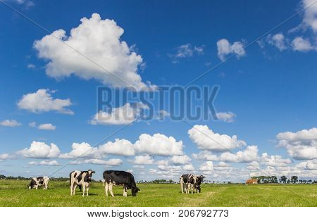 Little Farm And Dutch Cows In Groningen
