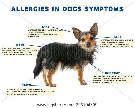 Dog and list of allergies symptoms on white background