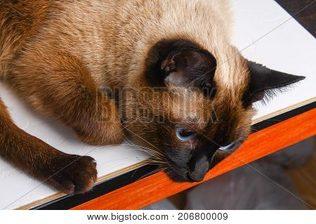 Siamese Thai Cat Lies And Looks With Sadness, Anguish, Anger.