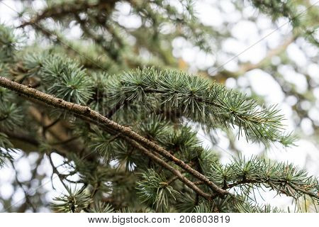 tree trunk with leaves from cedrus atlantica atlas cedar from mountain winter mood