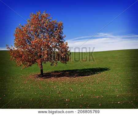 Lone Tree beginning to lose its leaves in Autumn