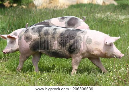 Pietrain breed pigs graze on fresh green grass on meadow