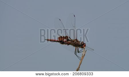 A red-mantled saddlebad dragonfly sitting on a tree branch