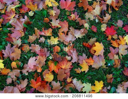 А variety of colorful leaves that fell on the green grass in the fall.