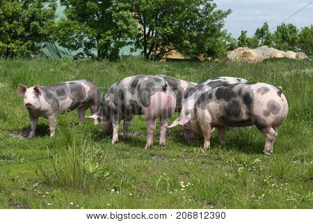 Young Pietrain Pigs Enjoy Summer Sunshine
