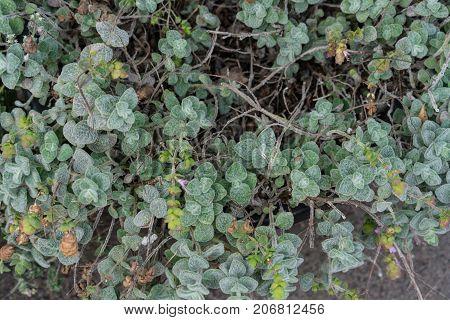 leafes and herbs from origanum dictamnus celtic oregano close up macro
