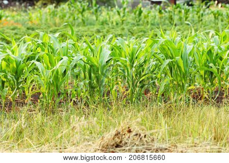 Corn and vegetables on a bed. Crop and agriculture.