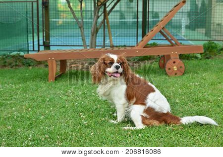 Dog Cavalier King Charles Spaniel sitting on a lawn in a garden with wooden deck chair and a tennis court in a background