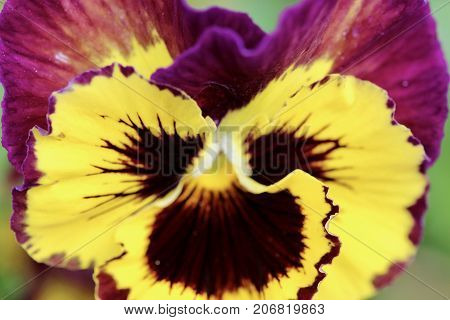 Purple and yellow pansy flower macro background