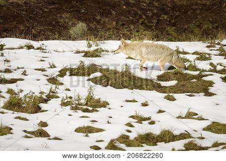 Coyote on Yellowstone National Park hunting on the snow