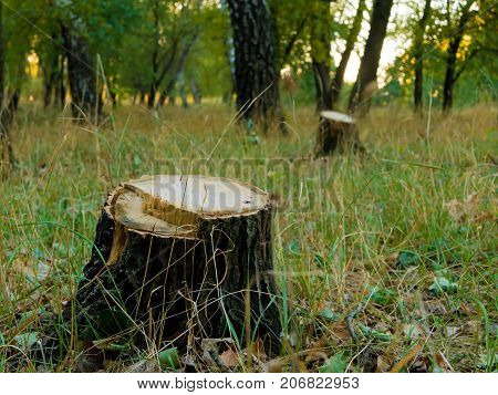 Tree stump after cutting a tree in autumn forest. Autumn forest landscape