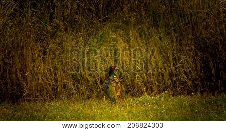 A rooster pheasant just before he bolts off into the tall grass to seek cover.