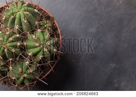 Cactus Thorns Close-up. Macro Cactus Thorns. Cactus Background. With Copy Space