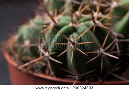 Cactus Thorns Close-up. Macro Cactus Thorns. Cactus Background