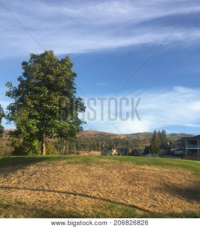 Tall pine tree on grassy hill with green and brown dry grass. Houses and mountains in background. Blue sky and white clouds over mountains.