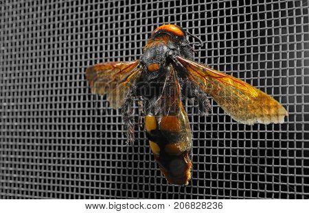 Wasp on mosquito net against dark background