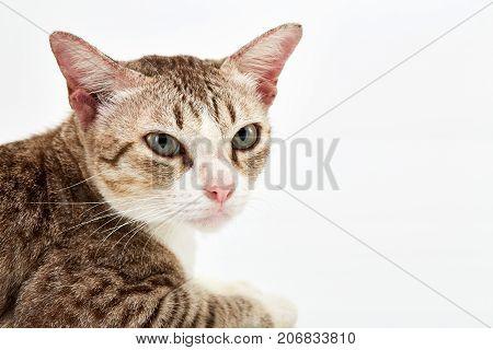 American Short Hair Cat Lying
