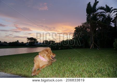 golden retriever dog in the tropical sunset near a pool