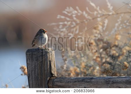 A small sparrow perched on a weathered fence post on a cold winter day in New Mexico.
