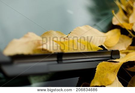 Soft Focus On Yellow Foliage Covering Windshield Of Car Parked Under Elms