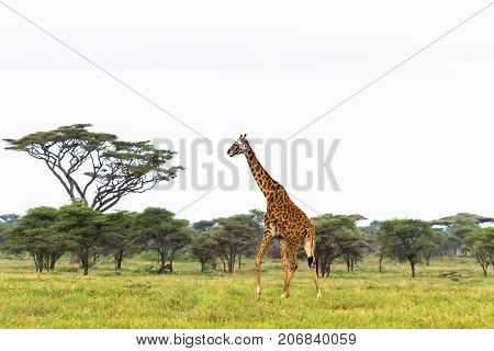 Maasai giraffe in savanna of Tarangire. Tanzania, Africa