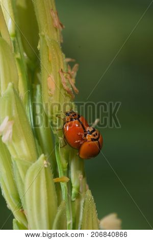 lady bug is Mating in paddy field