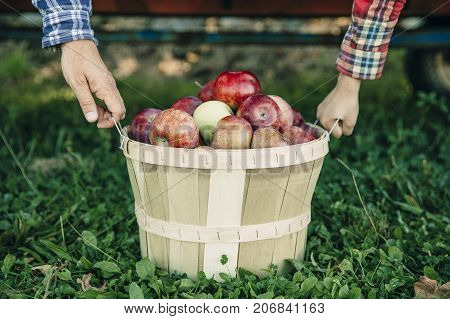 man's and kid's hands hold a basket with apples. father and son gathered apples in the garden. the concept of harvest