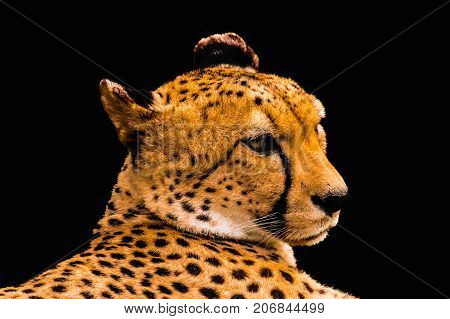 Portrait Of A Cheetah Isolated On Black