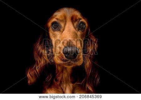 English Cocker Spaniel Dog Isolated On Black