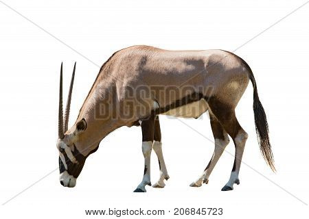 side view male gemsbok antilope isolated white background