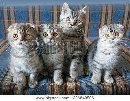 Small scottish fold kittens on blue bsckground in home interior