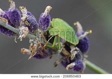 Green Stink Bug (Palomena prasina) on lavender