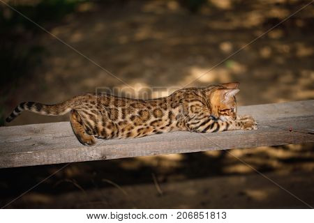 Playful Bengal Cat with gold fur hunt outdoor, side view