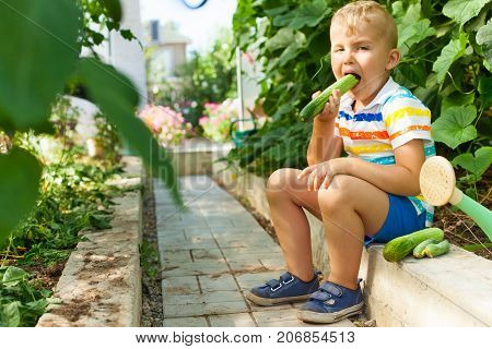 A Merry Tanned Boy, A Blond Man Gathers And Eats Green Cucumbers In A Greenhouse.