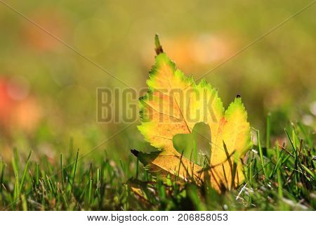 Lone green and yellow autumn leaf in the grass with a heart shape cut out of the center