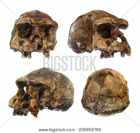 Set Of Homo Erectus Skull . Discovered In 1969 In Sangiran , Java , Indonesia . Dated To 1 Million Y