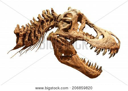 Skeleton Of Tyrannosaurus Rex ( T-rex ) On Isolated Background . ( Skull And Neck )