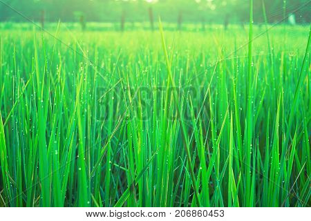 Field rice green close up landscape background.