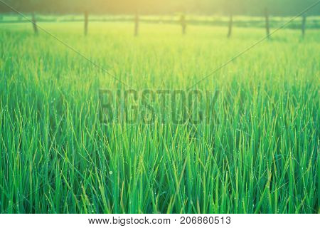 Field rice green outdoor on nature close up.