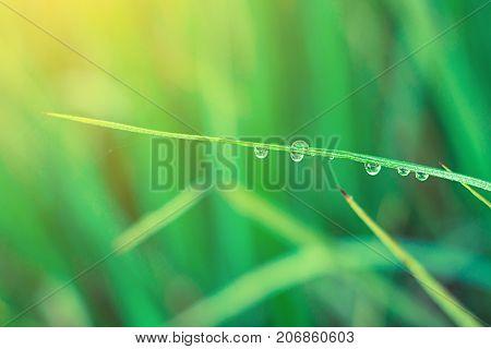 Drop on rice green lerf close up.