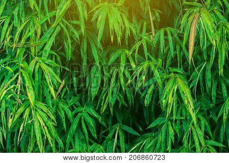 Bamboo leaves green nature close up background.