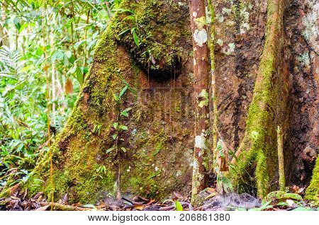 View on buttress root of rain forest tree in Brazil